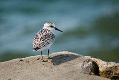 Sanderling bird on lake michigan Royalty Free Stock Images