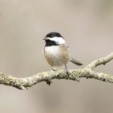 Small Bird Chickadee Royalty Free Stock Images