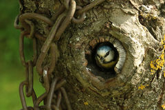 Small bird close up in hollow tree. Small bird titmouse with yellow belly is feeding its babys with snail or warm. titmouse is watching out from the hollow in stock photo