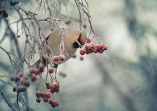 Small bird in the cold winter. Eating berries Stock Photos