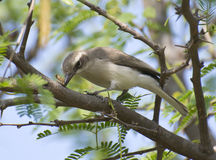 Small Bird Common Wood Shrike with Catch Stock Image