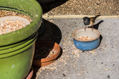 Small bird Dark-eyed Junco eating feed, nuts, seeds, grains from tray or pot Stock Photos