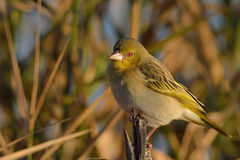 Small bird in early morning sun on branch. In nature reserve in south africa Stock Images