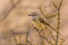 Small bird in early morning sun on branch Royalty Free Stock Photo
