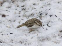 Small bird Eurasian or Common Treecreeper, Certhia familiaris, close-up portrait on snow, selective focus, shallow DOF Royalty Free Stock Image