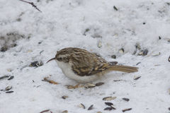 Small bird Eurasian or Common Treecreeper, Certhia familiaris, close-up portrait on snow, selective focus, shallow DOF.  Stock Images