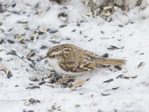 Small bird Eurasian or Common Treecreeper, Certhia familiaris, close-up portrait on snow, selective focus, shallow DOF.  Royalty Free Stock Photography