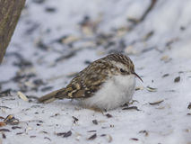 Small bird Eurasian or Common Treecreeper, Certhia familiaris, close-up portrait on snow under tree Stock Photos