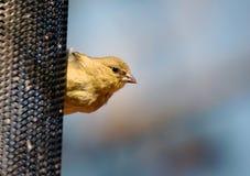 Small Bird  on a feeder Stock Photos