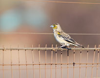 Small bird on the fence Royalty Free Stock Image