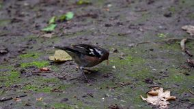 A small bird finch chaffinch found a piece of bread and wants to eat it. A small bird finch (chaffinch) found a piece of bread and wants to eat it. The bird stock video footage