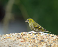 European Siskin on Feeder Stock Photography