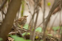 Small bird on forest ground in winter stock photo