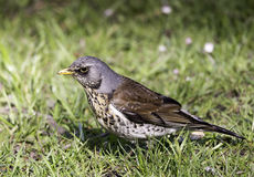 Small bird on grass Stock Images