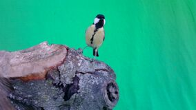 Small Bird Great Tit, Parus major, in Green Screen or Chromakey