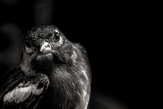 Small Bird. A hand in Zaragoza in Spain royalty free stock images