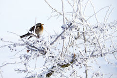 Small bird on hawthorn in cold winter Stock Photo
