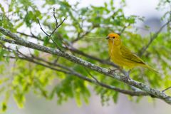 Small bird holding branch with the beak. To build a nest Royalty Free Stock Photography