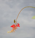 Small bird hunting nectar. Small yellow bird with cooked bead on red flowers as back ground Stock Image