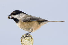 Small Bird Isolated Eating Seed Stock Photography