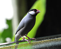 Small bird on the ledge of the balcony Stock Photography