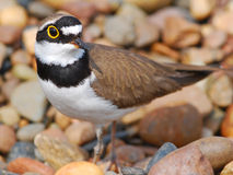 Small bird Little Ringed Plover Stock Photography
