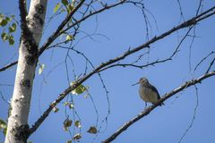 A small bird with a long beak on a birch branch stock images