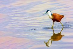Bird hunts on the lake. A small bird on long legs walks through the water and hunts for fish. Kenya, a national park. Wild nature royalty free stock photos