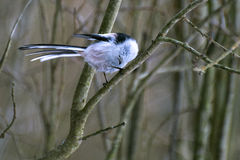 A small bird with a long-tailed tit sits on a branch and bends its head Royalty Free Stock Photo