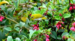 A little yellow bird in a green forest. This small bird always look in munnar and other hill top area of green forest Royalty Free Stock Images