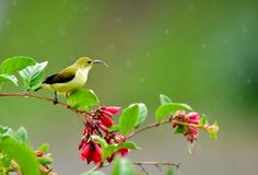 A little yellow bird in a green forest. This small bird always look in munnar and other hill top area of green forest Royalty Free Stock Photo