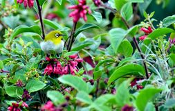 A little yellow bird in a green forest. This small bird always look in munnar and other hill top area of green forest Stock Photos