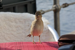 Small Bird Looking At Camera. Shot of a small sparrow like bird perched on a cafe table, looking at camera Stock Photo