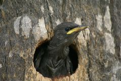 Small bird looking out of a hole in a tree Stock Photo