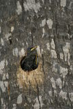 Small bird looking out of a hole in a tree Stock Image