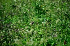 Small bird in lush green summer foliage. Camouflage Stock Image