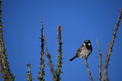 House sparrow on branch against blue sky - Passer domesticus. Small bird, a male house sparrow, sitting on a bare branch in the desert at an Arizona rest stop royalty free stock photo