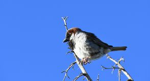 House sparrow on branch against blue sky - Passer domesticus. Small bird, a male house sparrow, sitting on a bare branch in the desert at an Arizona rest stop stock image