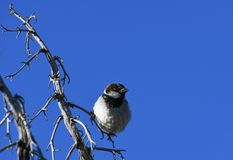 House sparrow on branch against blue sky - Passer domesticus. Small bird, a male house sparrow, sitting on a bare branch in the desert at an Arizona rest stop stock photos