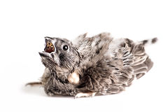 Small bird mouth open Stock Images
