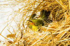 Small bird in nest Royalty Free Stock Images