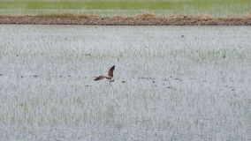 Small bird in the new rice field Royalty Free Stock Photos