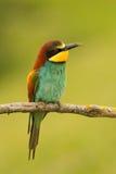 Small bird with a nice plumage Royalty Free Stock Photos
