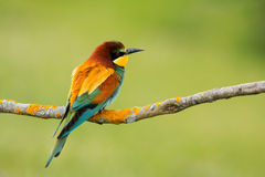 Small bird with a nice plumage Royalty Free Stock Image
