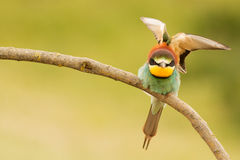 Small bird with a nice plumage Royalty Free Stock Images