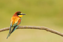 Small bird with a nice plumage Stock Photography