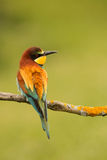 Small bird with a nice plumage Stock Images