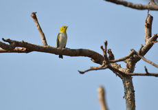 Small Bird Oriental White Eye Stock Photography