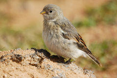 Small bird (Passer spp.) in Krafla area, Iceland Royalty Free Stock Image