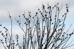 Small Bird patterns. Flock of European Starlings form uniform pattern on winter tree Stock Photo